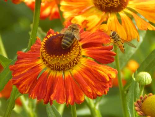 Honey bee and hover fly share a sneezeweed flower.