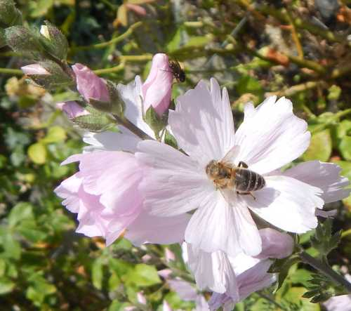 Honey bee on prairie mallow.