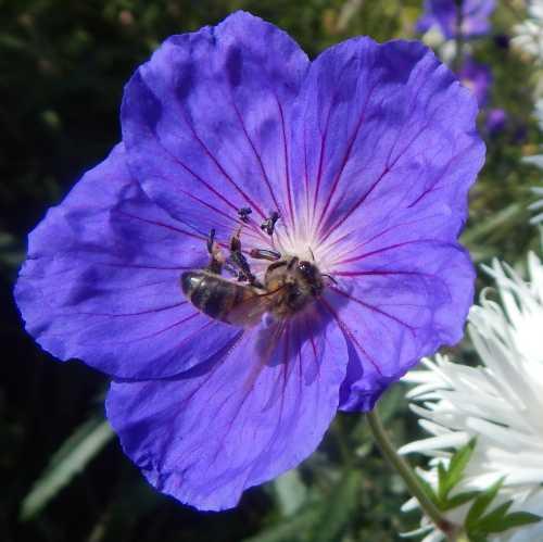 Honey bee - Apis mellifera foraging on geranium flower.