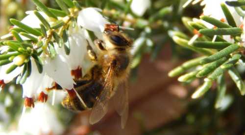 Honey bee foraging on winter heather.