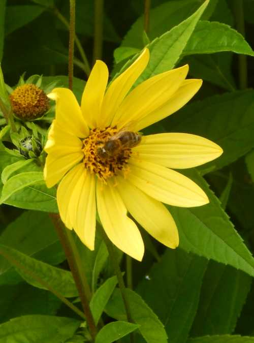 Honey bees also like sunflowers.
