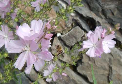 Honey bee and Prairies mallow.