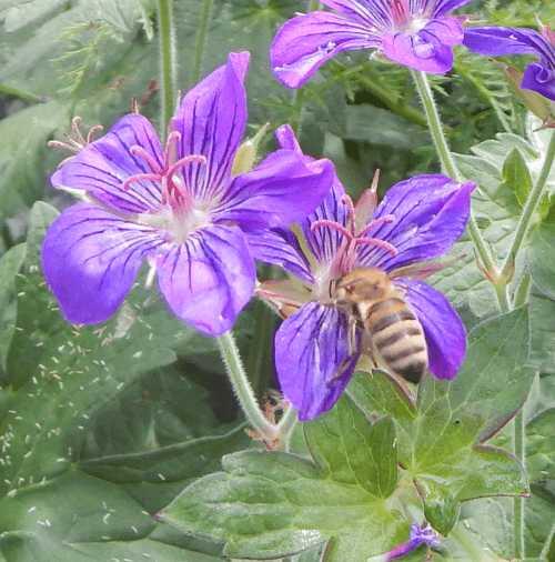 Honey bee on geranium flower.