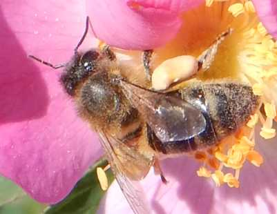 The pollen baskets on this honey bee contain significantly more pollen than is the case above.