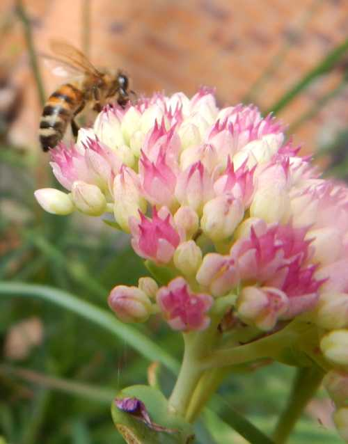 Honey bee - Apis melliferafeeding on ice plant - Hylotelephium spectabile - also known as Sedum spectabile.