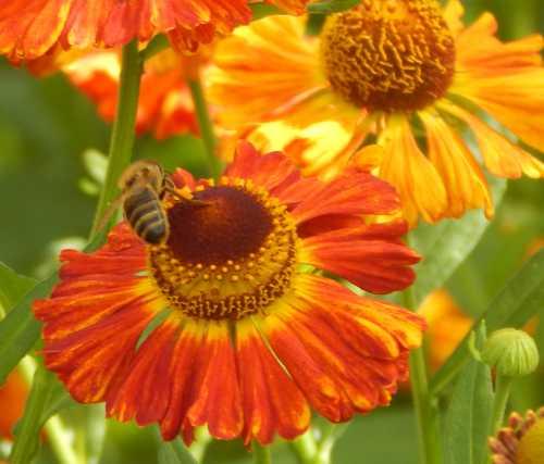 Honey bee - Apis mellifera on sneezeweed - Helenium autumnale.