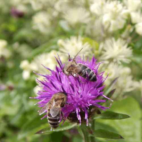Honey bees - Apis mellifera foraging on knapweed.