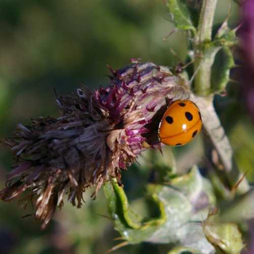 Ladybug / Ladybird beetle on knapweed.