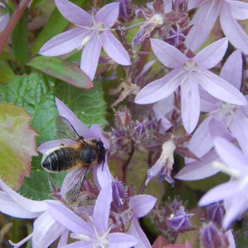 I have clumps of campanula around my garden.  It attracts a number of different bees species, but especially leafcutter bees (above) bumble bees.