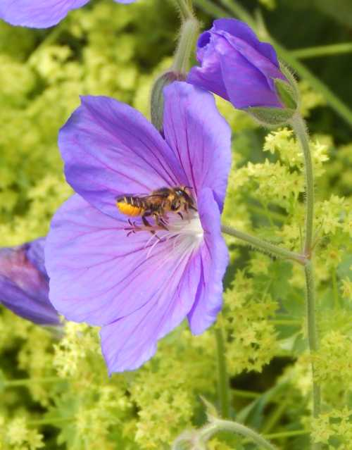 Leafcutter bee visiting geranium flower.