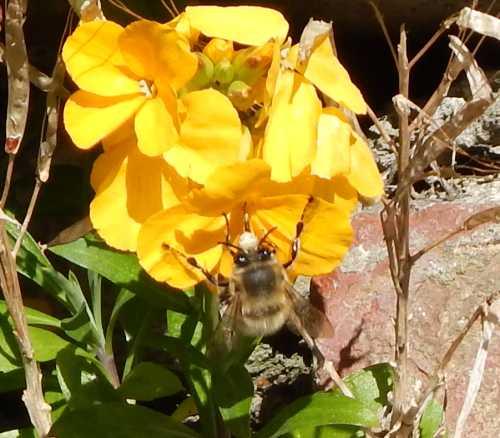 Long-horned bee -  Eucera longicornis female