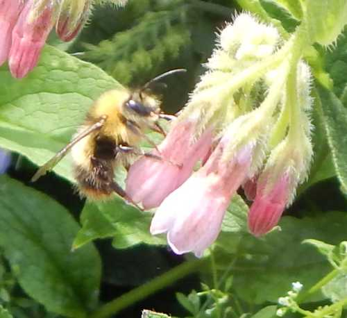 Bees may be spotted nectar robbing comfrey.