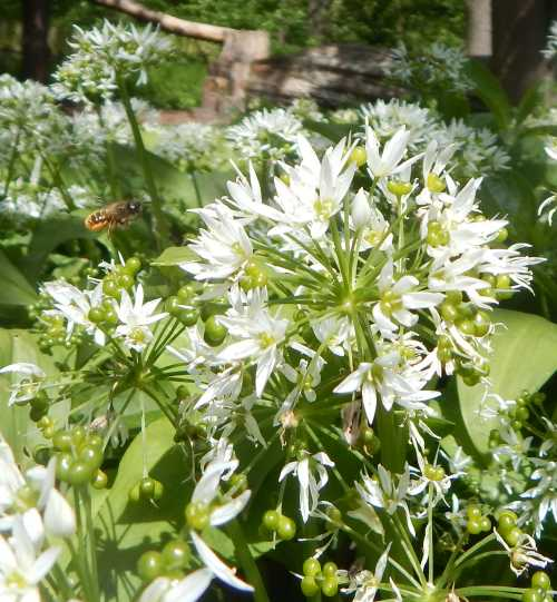 Mason bee flying toward wild garlic.