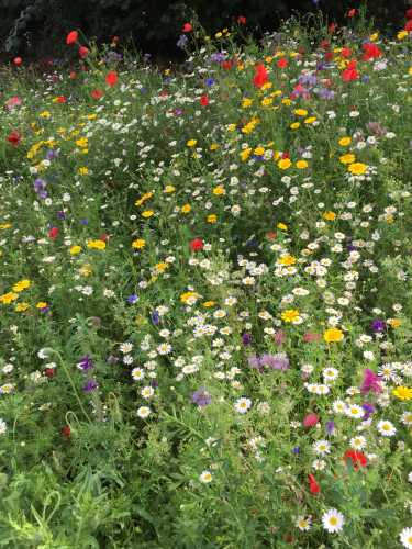 Once created, wildflower areas are generally low maintenance, typically requiring mowing only twice per year.