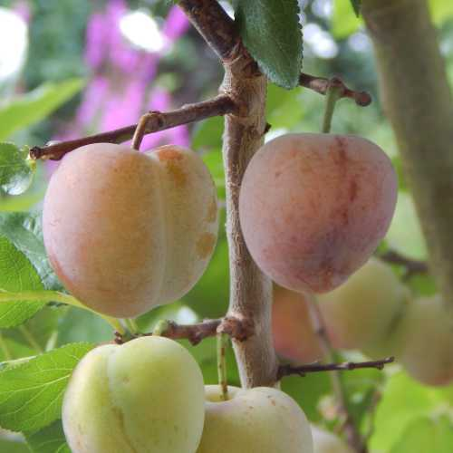 We enjoy excellent crops of plums from our tree late summer, thanks to bees pollinating the flowers on the tree in early spring.