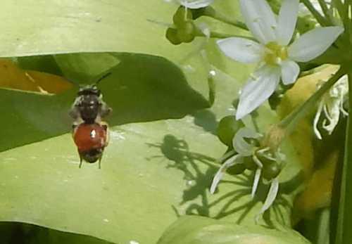 Red-girdled mining bee - <I>Andrena labiata</I> (female) in flight.