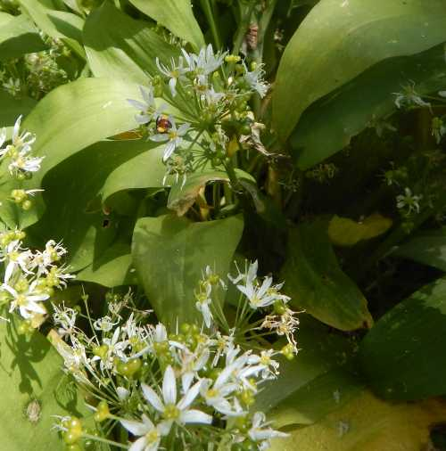 Look carefully - can you spot the red-girdled mining bee in this picture?  It has its head right inside a floret.