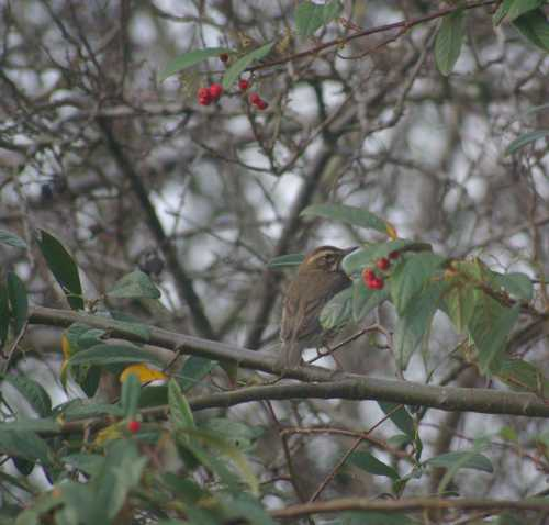 Redwing in our garden - a winter visitor, it feasts on cotoneaster berries.