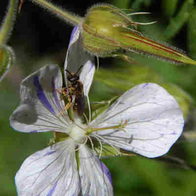 Hardy geraniums attract many species of bees, and are easy to grow.