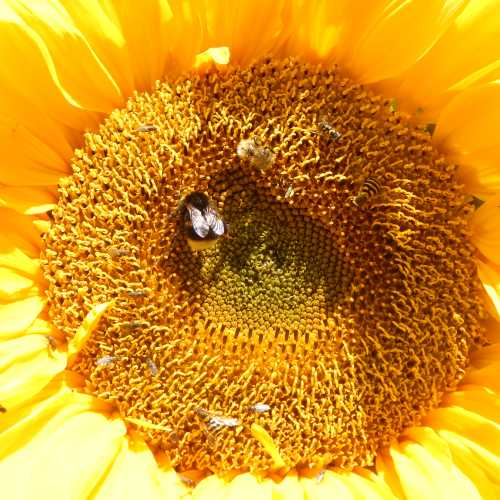 Take a good look at the centre of the flower head. It's not only bees that love sunflowers, hover flies and all manner of other little flies and tiny beetles are likely to be present.