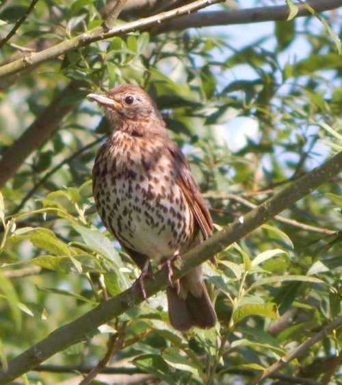 Song birds like this thrush eat berries, seeds and fruits that develop after bees and other insects have pollinated the flowers of the plant, shrub or tree.