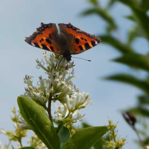 Tortoiseshell butterfly on privet.