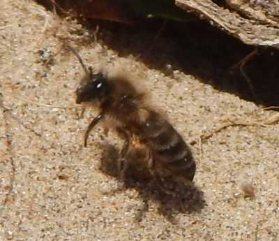 A <i>Colletes cunicularius</i> - Vernal mining bee - taking off from the sandy ground.