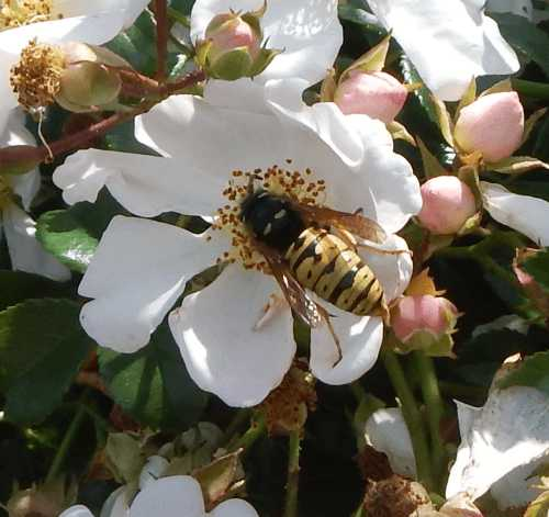 A wasp sting is not the same as a bee sting.  It contains different toxins.