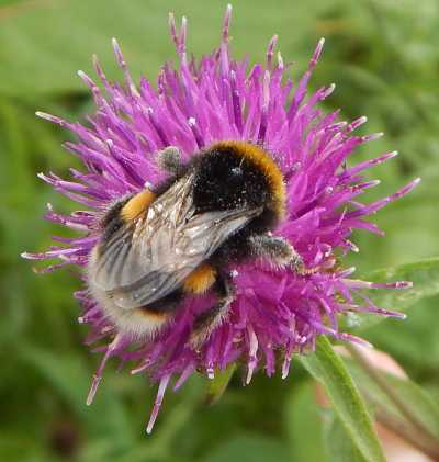 White tailed bumble bee -<I>Bombus lucorum</I> - queen, foraging on knapweed - Centaurea nigra