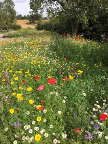 Wildflowers along with trees and hedgerows provide excellent pollinator habitats.