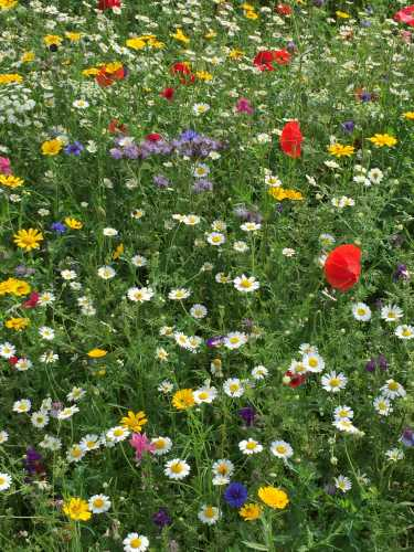 Planting wildflowers is a very positive step we can take to assist bees and other pollinators.