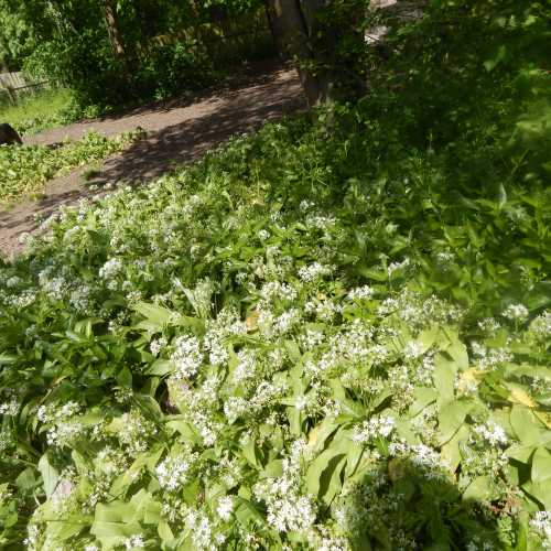 If you have a wooded area in your garden, wild garlic - Allium ursinum, would be a great choice.