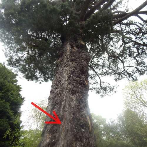 Wild honey bee nest in tree.