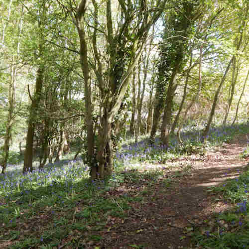 Bluebells in the woodland close to my home.  There are quite a few bees in this woodland, despite the shady areas.