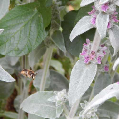 Wool carder bees forage on lamb's ear flowers, and collect the plant hairs for their nests.
