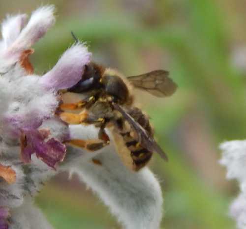 Female wool carder bee.
