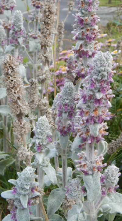 Lamb's ear is helpful for attracting wool carder bees.